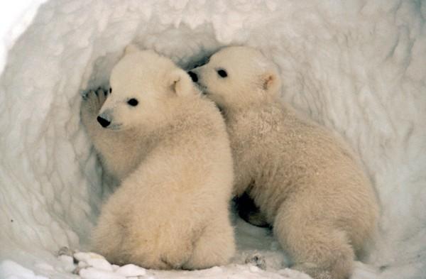 Ursus maritimus Eisbär - Klimakids